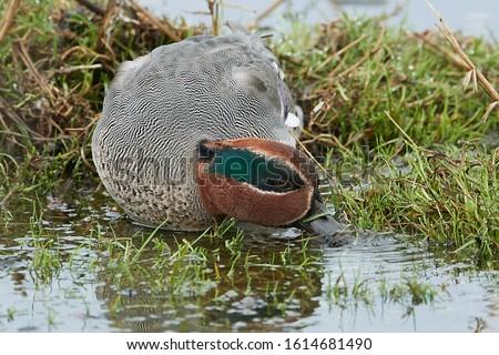 Eurasian teal (Anas crecca) in its natural habitat in Denmark #1614681490