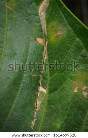 disease leaves. Diseases of the leaves due to pests and cracked #1614699520