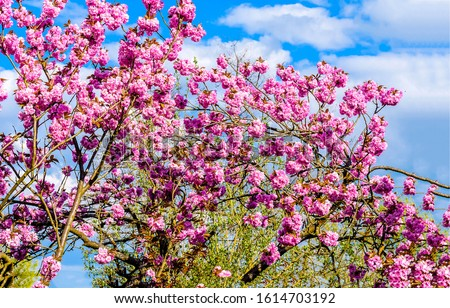 Pink flowers tree in spring. Spring blooming pink flowers tree. Spring trees pink flowers branches #1614703192