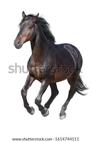 Black horse isolated on white background