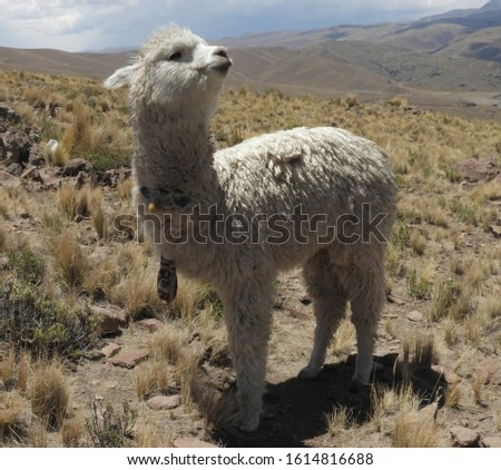 Alpaca posing for a picture in the field