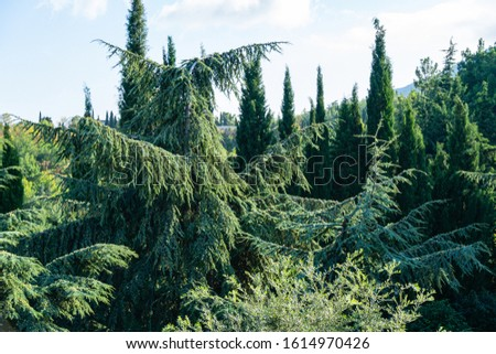 Landscape with beautiful young blue Cedar Tree Cedrus libani or Lebanon Cedar and rare and relict evergreens trees in Aivazovsky landscape park (Paradise) in Partenit, Crimea #1614970426
