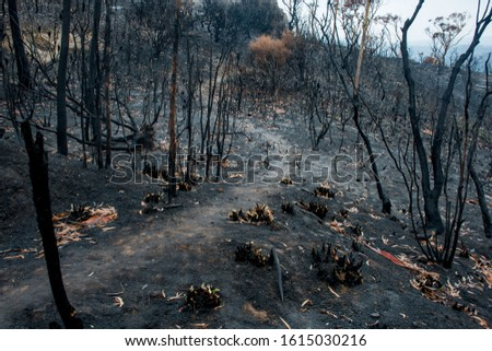 Australian bushfire aftermath: burnt eucalyptus trees suffered from a wildfire and black sole #1615030216