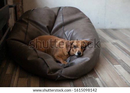 Portrait Of An Adult Plump Dachshund Dog Lying On A Leather Bean Bag Chair In Loft Apartment. The Dog Looks Sadly At The Camera