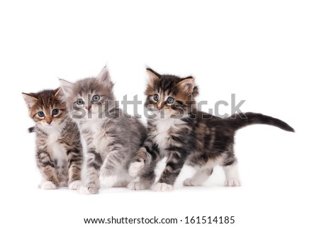Three standing kittens isolated on white #161514185