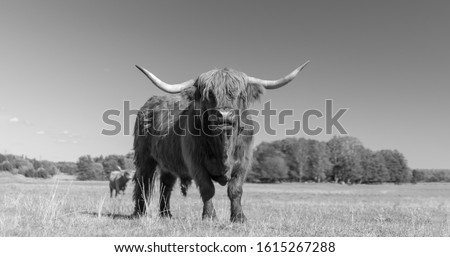 Highland Cattle Bull grazing during summer in Sweden #1615267288