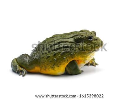 The African bullfrog isolated on white background #1615398022