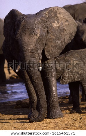 A cow elephant takes time out from mud-bathing at Kanondo Pan to suckle her large calf #1615461571