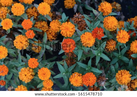 Marigolds (Tagetes erecta, Mexican marigold, Aztec marigold, African marigold) #1615478710