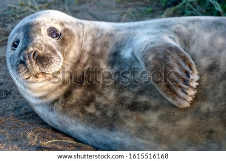 Baby grey seal posing for a picture