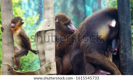 This photo shows a family of Monkeys, the mother is working on the father's lice and the baby monkey is playing while curiously watching her surroundings.