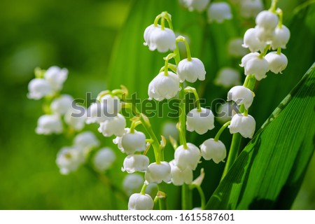Flower Spring Sun White Green Background Horizontal. Spring flower lily of the valley. Lily of the valley. Ecological background Blooming lily of the valley green grass background in the sunlight.