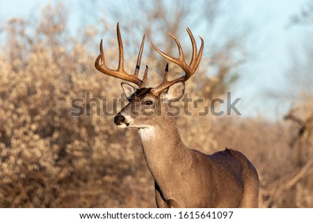 Mature 10 point whitetail buck in South Texas Royalty-Free Stock Photo #1615641097