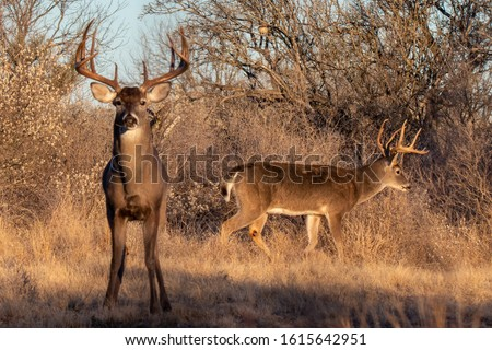 Two mature whitetail bucks in South Texas Royalty-Free Stock Photo #1615642951