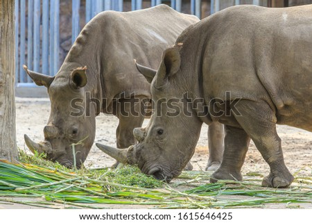 Two adult rhinos eating grass. Big African animals. #1615646425