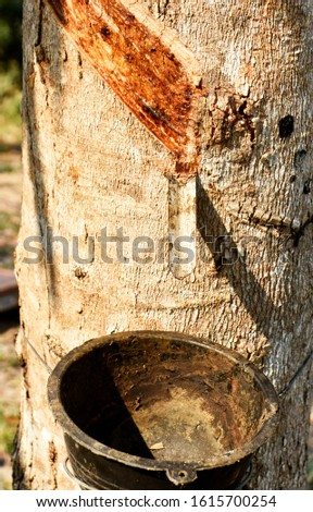 Rubber trees, rubber tapping marks and plastic cups filled with raw rubber, tied to rubber trees #1615700254