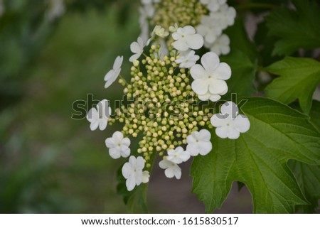 Viburnum, a genus of woody flowering plants Adoxaceae. Useful tree plant. Medicinal fruits. Home garden, flower bed. Red berries. White flowers #1615830517