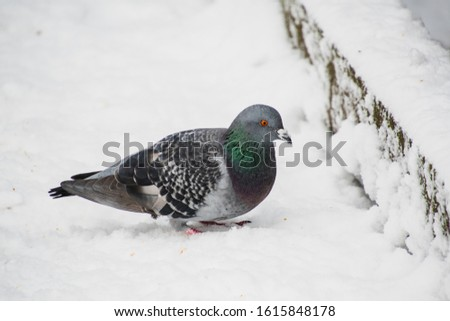 A picture of a rock dove resting on the snow-covered ground.   Burnaby BC Canada