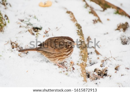 A picture of a Song sparrow perching on the snow-covered ground.   Burnaby BC Canada