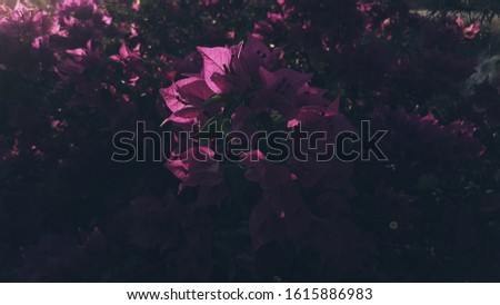 Flowes background, bougainvillea flowes in the afernoon #1615886983