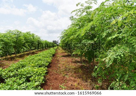 Inter crops of Drumstick tree (Moringa oleifera) and Peanut or Groundnut (arachis hypogaea). Groundnut tree is used as legumes crop and green manure. Inter cropping. Crop rotation. organic farming.