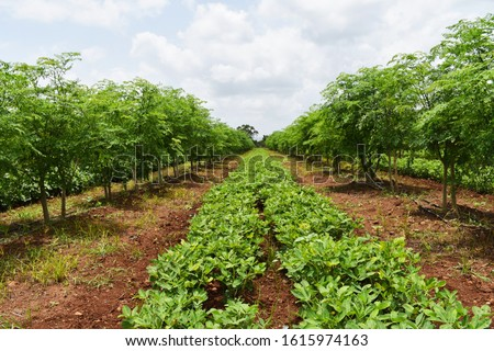 Inter crops of Drumstick tree (Moringa oleifera) and Peanut or Groundnut (arachis hypogaea). Groundnut tree is used as legumes crop and green manure. Inter cropping. Crop rotation. organic farming. #1615974163