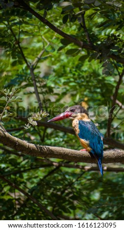 Stork Billed Kingfisher, Regularly found around near flowing water source, i,e. streams, small flows etc, has beautiful colour, contrast #1616123095