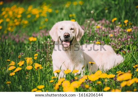 White Obedient Funny Young Happy Labrador Retriever Sitting In Grass And In Yellow Dandelions Outdoor. Spring Season. #1616206144