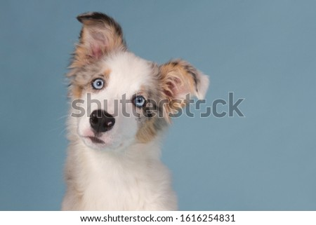 Portrait of a cute blue merle border collie puppy with blue eyes