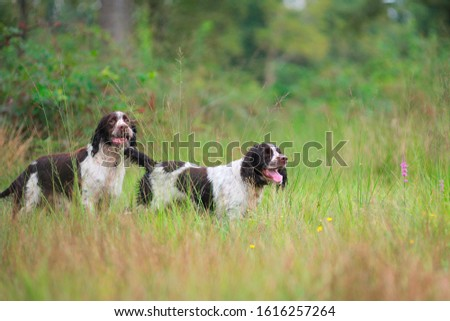 Two liver and white english springer spaniel hunting in a field #1616257264