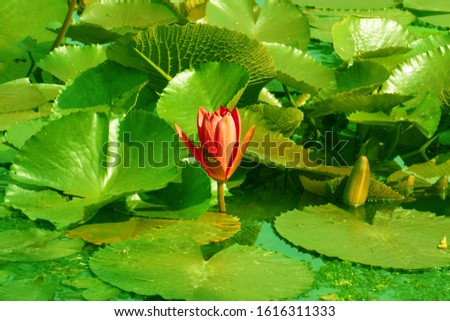 Close-up blooing Pink Nymphaea Water lily or Pink Lotus Bud Flower on the lotus lake - Beautiful Flower wall picture , Floral backdrops in the garden concept