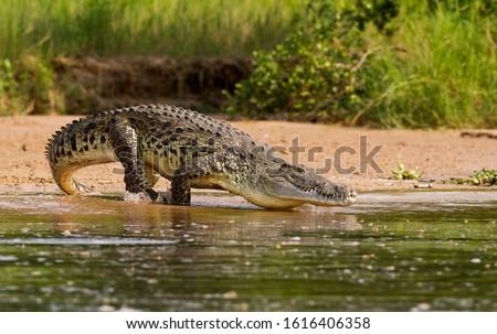A Nile Crocodile, the bigger predator of the Nile River. Royalty-Free Stock Photo #1616406358