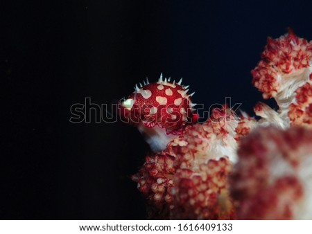 Symbiotic cowrie on soft coral #1616409133