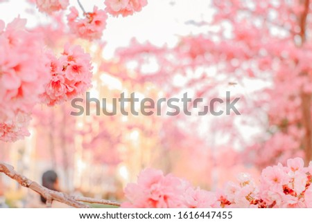 Japanese style Chinese university winter cherry blossoms #1616447455