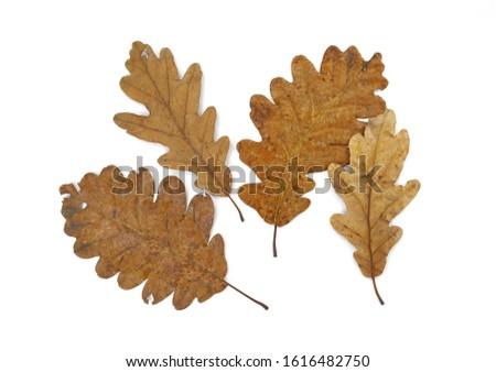 Old oak leaves isolated on white. Autumn leaf. #1616482750