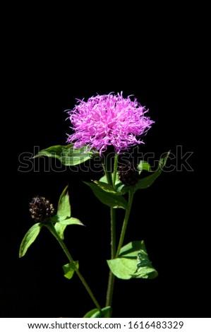 Meadow Knapweed, is a wild meadow flower with blue flowers. #1616483329