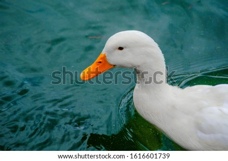 A picture of a duckling with a head frame swimming