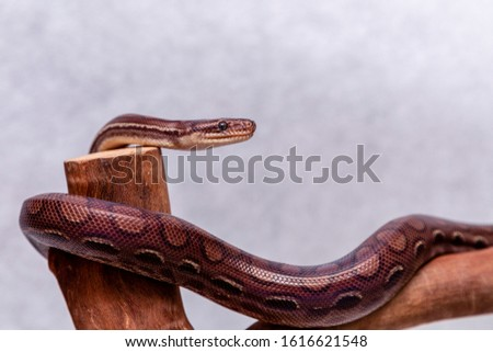 The boa constrictor is a fish snake that can reach an adult size of 2 meters (Boa constrictor amarali) to 4 meters (Boa constrictor constrictor). In Brazil, where is the second largest snake #1616621548