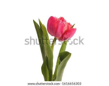 A Sprig Pink Tulip With Leaves Isolated White Background #1616656303