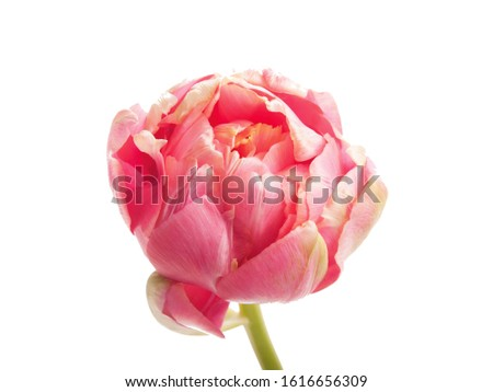 A Sprig Pink French Tulip Isolated White Background #1616656309