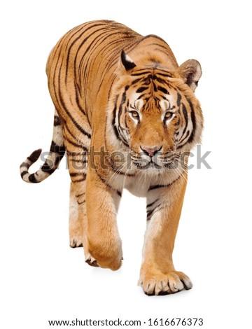 Tiger walking on white background #1616676373