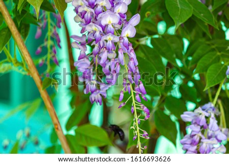 a closeup of wisteria bloom cluster hanging from vine #1616693626