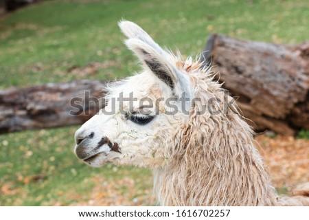 Close-up picture of alpaca head