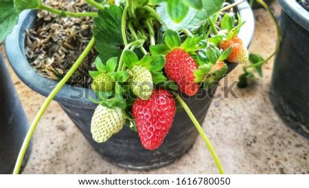 Strawberry reddish in the pot #1616780050