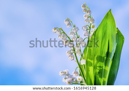 Flower Spring Lily of the Valley Background Horizontal. Natural nature background with blooming beautiful flowers lilies of the valley lilies-of-the-valley. Lily of the valley.  #1616945128