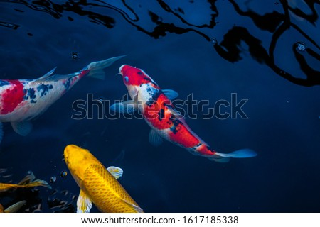 Japan Koi fish swimming in a water garden,fancy carp fish,koi fishes,Koi Fish swim in pond.Isolate background is black.Fancy Carp or Koi Fish are red,orange #1617185338
