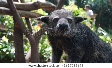 Viverridae is a family of small to medium-sized mammals, the viverrids (/vaɪˈvɛrɪdz/), comprising 15 genera, which are subdivided into 38 species. #1617283678