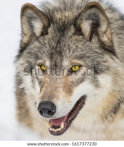 Wolf portrait. Northwestern wolf (Canis lupus occidentalis), also known as the Canadian timber wolf #1617377230