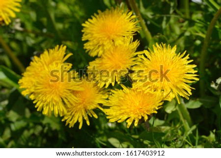 Blossom from dandelions  in spring on a meadow #1617403912