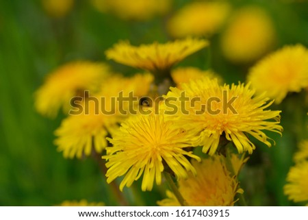 Blossom from dandelions  in spring on a meadow #1617403915